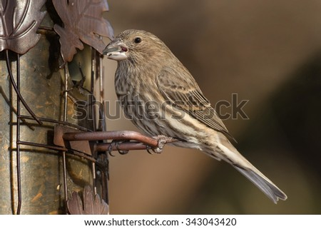 Female House Finch perched on a feeder. - stock photo