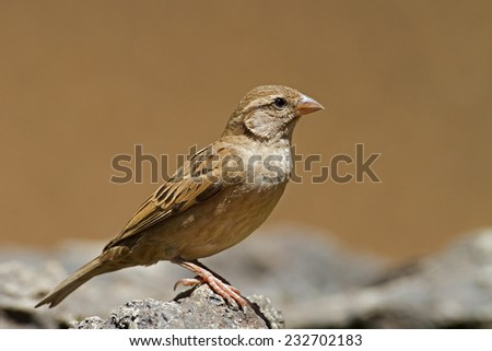 Female House Sparrow; Passer domesticus