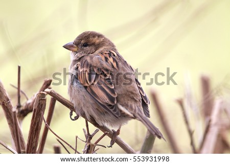 Female House Sparrow (Passer domesticus) sitting on a twig in the garden.