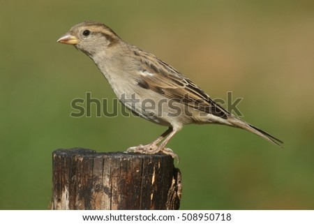 Female House Sparrow (Passer domesticus) with a green background