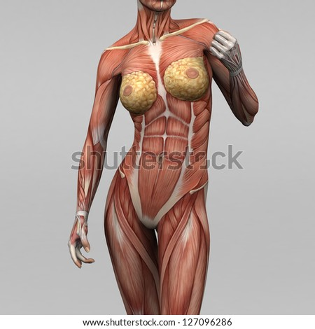 Female Human Anatomy Muscles Stock Illustration 127096286 - Shutterstock