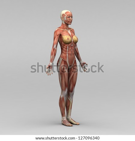 Female human anatomy and muscles