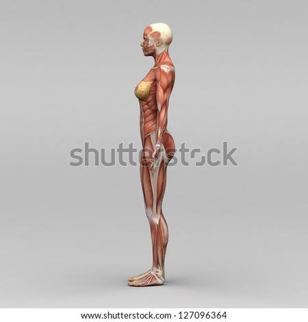 Female human anatomy and muscles - stock photo