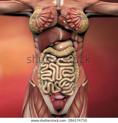 Female Human Body Anatomy Muscles Organs Stock Illustration ...