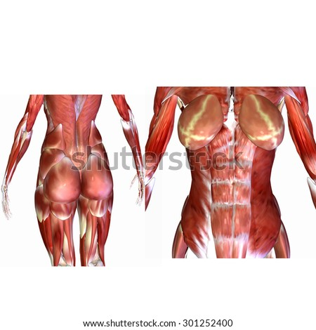 Female Human Body Muscles Stock Illustration 301252400 Shutterstock