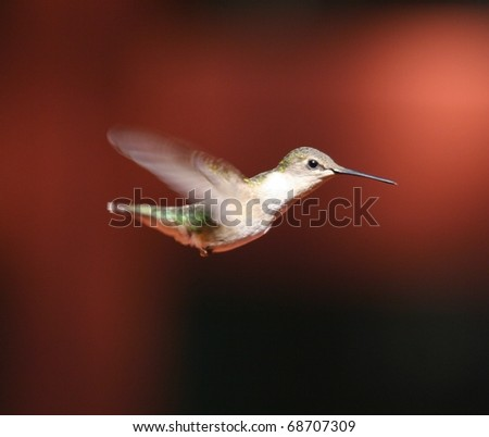female hummingbird - stock photo