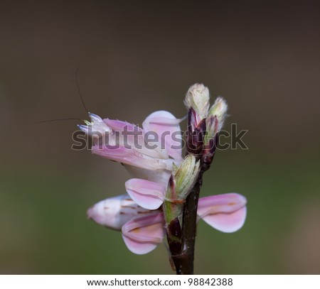 Female hymenopus coronatus also known as Malaysian orchid mantis (orchid mantis grasshopper) good camouflage