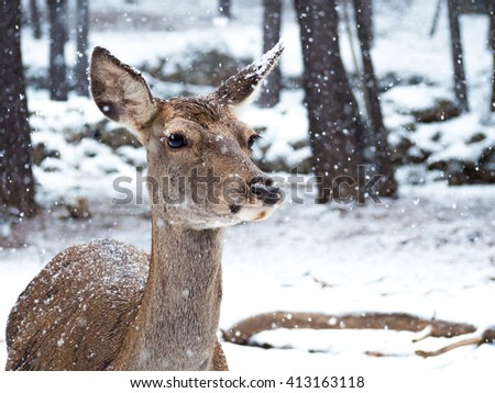 Female iberian red deer (Cervus elaphus hispanicus) in the middle of the snowfall in the forest - stock photo