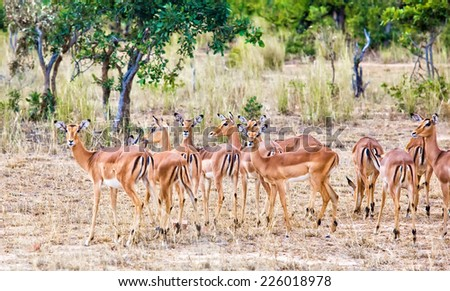 Female impala antelopes in Kruger National Park, South Africa - stock photo