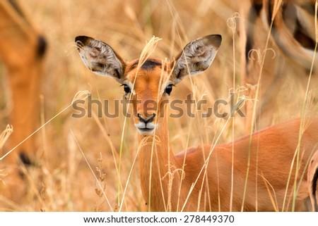 Female Impala eating grass, Nakuru Lake, Kenya - stock photo