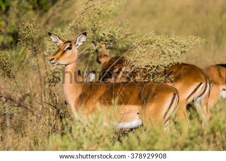 Female impala standing in african savanna. Moremi game reserve, Botswana. - stock photo