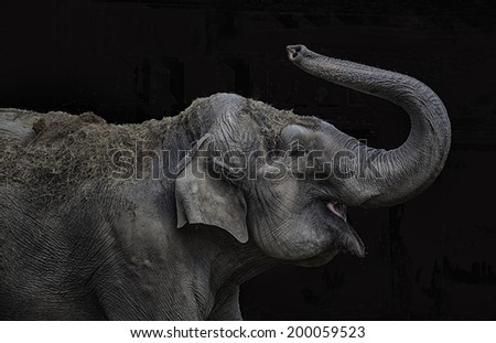 Female indian elephant playing with its trunk