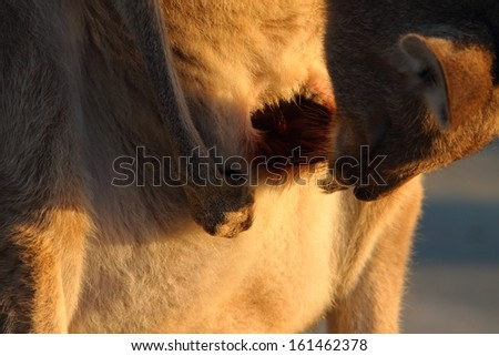 female kangaroo cleaning pouch where joey kept australia - stock photo