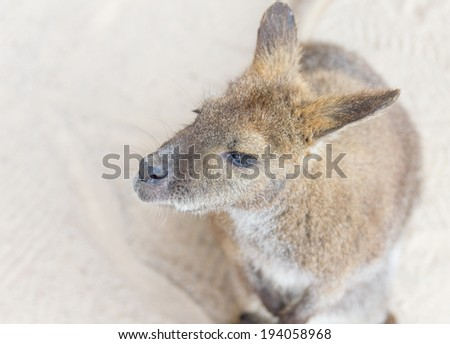 Female kangaroo from the top - stock photo