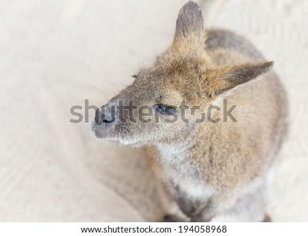 Female kangaroo from the top - stock photo