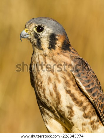 Female Kestrel Falcon sitting in tall grass on sunny autumn morning - stock photo