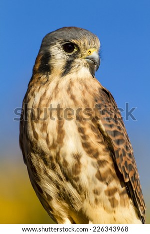 Female Kestrel Falcon sitting on tree branch in early morning sunlight with clear blue sky - stock photo