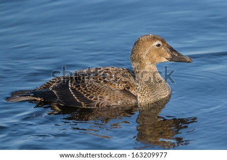 Female King Eider Swimming