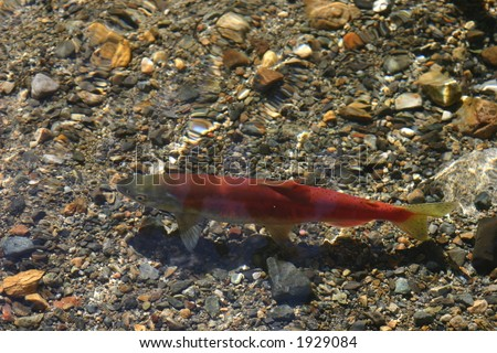 Female Kokanee Salmon  swimming in a stream near Lake Tahoe - stock photo