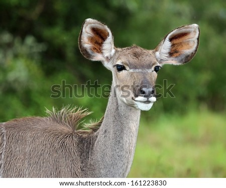 Female kudu with large ears standing in African bush veld - stock photo