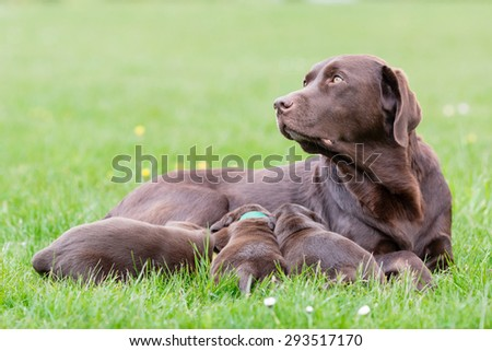 Female labrador retriever dog feeding her litter of adorable young brown pups. - stock photo