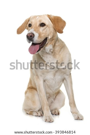 female labrador retriever in front of white  background
