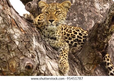 Female leopard lying in a tree - stock photo