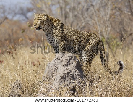 Female Leopard (Panthera pardus) using a termite mound as a vantage point, South Africa