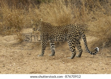 Female leopard (Panthera pardus) walking along the sandy bed of a dried up seasonal river in Kruger National Park, South Africa