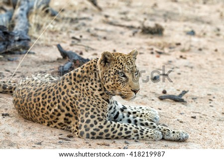 Female leopard with tracking collar resting in Okonjima Nature Reserve, Namibia. Shallow depth of field.