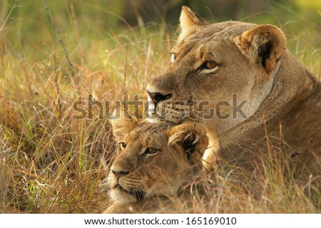 Female Lion and cub - stock photo