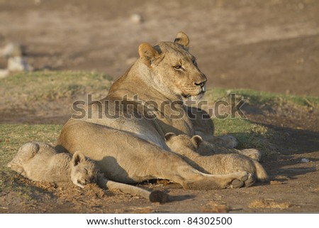 Female lion and her cubs having some rest in Madikwe reserve South Africa. - stock photo
