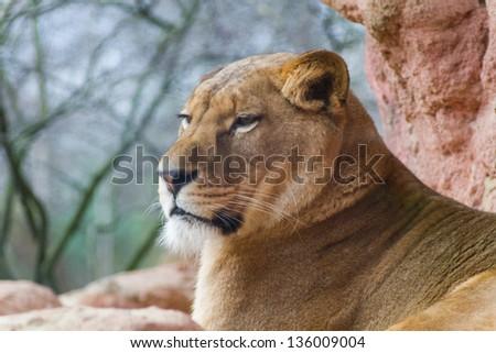 Female lion close - stock photo