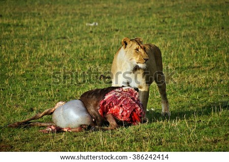 Female lion eating his wildebeest kill in the Masai Mara National Park, Kenya