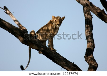 Female Lion in a Tree