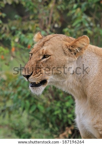 Female Lion in the Bush of Masai Mara in Kenya - stock photo
