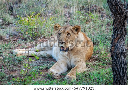 Female Lion laying in the grass in the Kruger National Park, South Africa.
