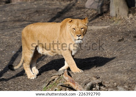 Female lion looking frontal in the camera - stock photo