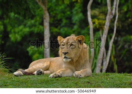 Female Lion Lying Down with Jungle in Background - stock photo