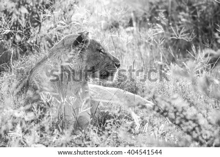 Female lion lying in the bush, South Africa