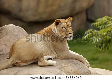 Female lion resting on some rocks - stock photo