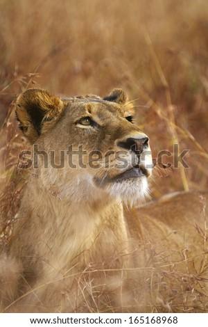 Female Lion Stare - stock photo