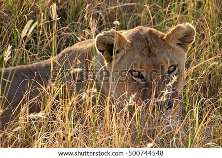 Female lion with seductive eyes in Serengeti National Park, Tanzania