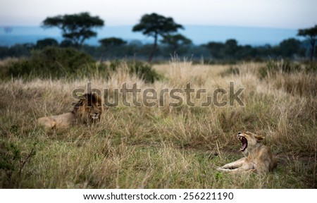 Female lion yawning.  - stock photo
