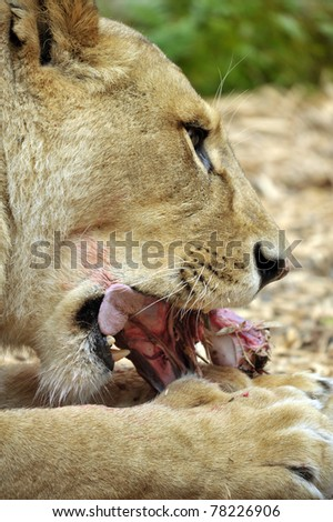 Female Lioness at feeding time - stock photo