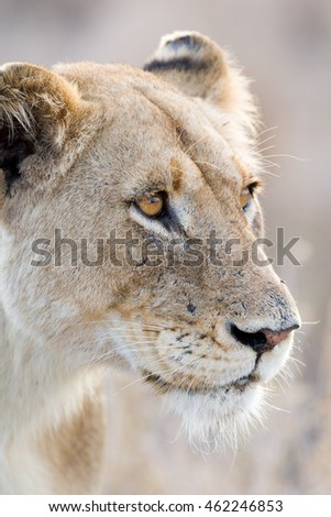 Female lioness with beautiful brown eyes watching prey