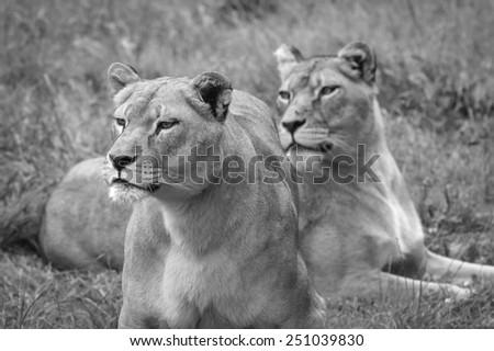 female lions stalking  - stock photo