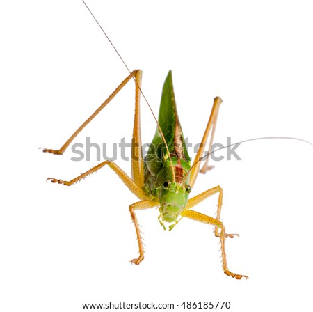 Female locust with ovipositor. Locust, grasshopper isolated on white background shot in a macro lens.