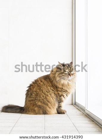 female long haired cat, brown siberian breed