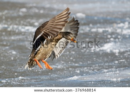 Female Mallard Duck - stock photo